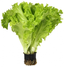 Купить листовой салат